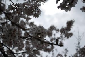 揺れる 桜