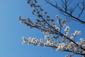 京都の桜3